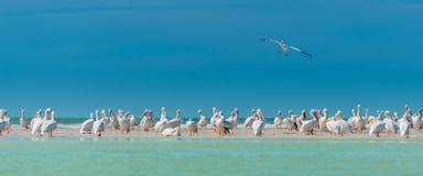 White Pelicans Colony Florida's Wildlife Royalty Free Stock Photo