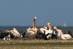 White pelicans, cormorants and seagulls rest on a sandbank. In a bright sunny day Stock Images