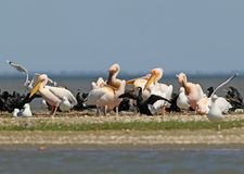 White pelicans, cormorants and seagulls rest on a sandbank. In a bright sunny day Stock Photos