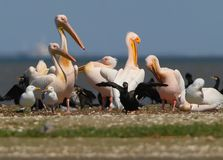 White pelicans, cormorants and seagulls rest on a sandbank. In a bright sunny day Stock Photo