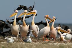 White pelicans, cormorants and seagulls rest on a sandbank. In a bright sunny day Royalty Free Stock Images