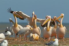 White pelicans, cormorants and seagulls rest on a sandbank. White pelicans and seagulls rest on a sandbank in a bright sunny day Royalty Free Stock Photography