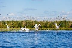 White pelicans in Danube Delta. Landscape photo of white pelicans in Danube Delta royalty free stock image