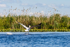 White pelicans in Danube Delta. Landscape photo of white pelicans in Danube Delta stock photography