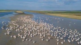 White pelicans in Danube Delta, Romania. Colony of pelicans in the Danube Delta, Romania stock photo