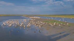 White pelicans in Danube Delta, Romania. Colony of pelicans in the Danube Delta, Romania royalty free stock photos