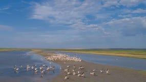 White pelicans in Danube Delta, Romania. Colony of pelicans in the Danube Delta, Romania stock photography
