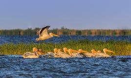 White pelicans in Danube Delta, Romania stock photography