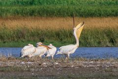 White pelicans in Danube Delta, Romania. White pelicans pelecanus onocrotalus in Danube Delta, Romania royalty free stock photography