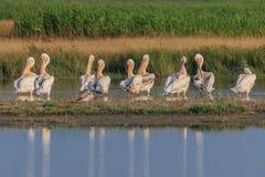 White pelicans in Danube Delta, Romania. White pelicans pelecanus onocrotalus in Danube Delta, Romania stock images