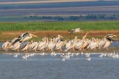 White pelicans in Danube Delta, Romania. White pelicans pelecanus onocrotalus in Danube Delta, Romania royalty free stock photo