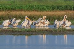 White pelicans in Danube Delta, Romania. White pelicans pelecanus onocrotalus in Danube Delta, Romania royalty free stock photography