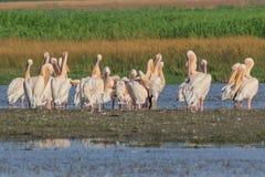 White pelicans in Danube Delta, Romania stock photos