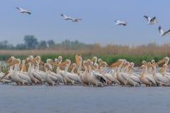 White pelicans in Danube Delta, Romania royalty free stock photo