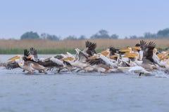 White pelicans in Danube Delta, Romania stock photo