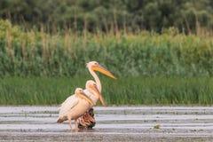 White pelicans in Danube Delta, Romania. White pelicans pelecanus onocrotalus in Danube Delta, Romania stock photos