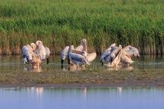 White pelicans in Danube Delta, Romania. White pelicans pelecanus onocrotalus in Danube Delta, Romania royalty free stock image
