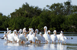 White Pelicans. Ding Darling National Wildlife Refuge, SW Florida royalty free stock photo