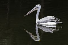 White pelicans at the edge of the pond, looking down, day dark background stock photos