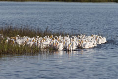 White Pelicans Royalty Free Stock Photography