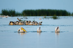 White Pelicans fishing Royalty Free Stock Photos