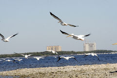 White Pelicans in flight. Scenic view of white Pelicans in flight over beach, coastal scene Stock Photo