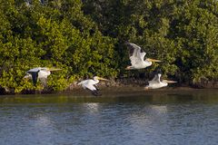 White Pelicans in Flight. Four white pelicans in flight over water stock photography