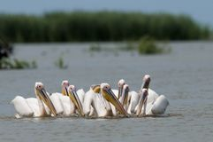 White Pelicans Flock Royalty Free Stock Photos