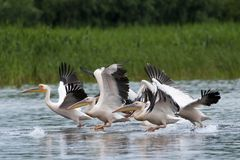 White Pelicans flock Stock Images