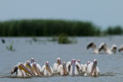 White Pelicans Flock fishing Stock Photo