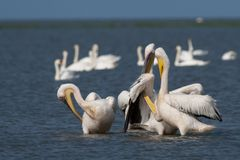 White Pelicans Flock Preening Stock Images