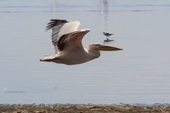 White pelicans flying at Lake Nakuru with blurred wings. Showing motion stock photography