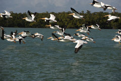 White pelicans flying over Gulf of Mexico Royalty Free Stock Photo