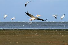 White pelicans flying over the sea Stock Images