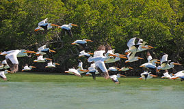 White pelicans flying over water Stock Photography