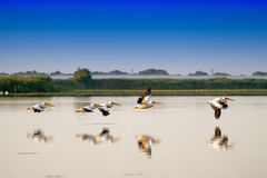 White Pelicans flying (Pelecanus onocrotalus) in Danube Delta Romania stock image