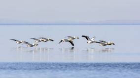 White pelicans flying Stock Images