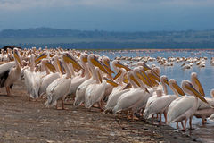 White pelicans in front a lake Royalty Free Stock Images