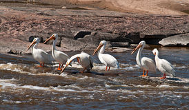 White Pelicans Going Fishing Royalty Free Stock Images