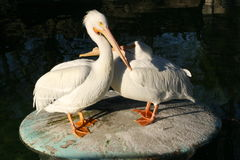 White Pelicans. Gorgeous White Pelicans on a Rock royalty free stock photos