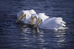 White Pelicans Royalty Free Stock Photos