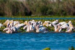 White Pelicans In Danube Delta Royalty Free Stock Photos