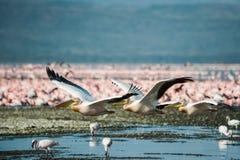 White pelicans at Lake Nakuru, Kenya, Stock Photography