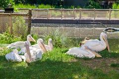 White pelicans at lake Royalty Free Stock Photos
