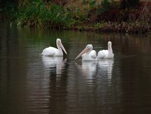 White pelicans on a lake. White pelicans swimming on a lake at dusk in Baton Rouge, Louisiana stock image