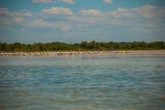White pelicans by the river, nature reserve of Rio Lagartos, Mexico. Yucatan. White pelicans in the nature reserve of Rio Lagartos, Mexico. Yucatan, river Stock Photo