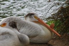 White Pelicans nesting Royalty Free Stock Photography