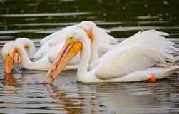 White Pelicans (Pelecanus erythrorhynchos) feeding Royalty Free Stock Image
