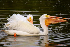 White Pelicans (Pelecanus erythrorhynchos) feeding Stock Photo