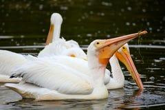 White Pelicans (Pelecanus erythrorhynchos) feeding Royalty Free Stock Photography